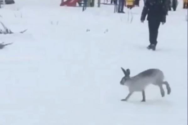 Заяц бегал среди людей и даже не пугался