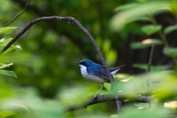 Синий соловей питается и кормит птенцов беспозвоночными