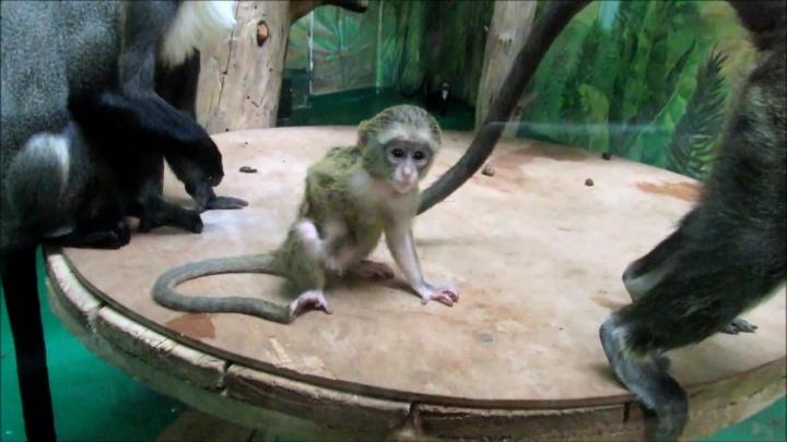 В Новосибирском зоопарке у мартышек с белой бородой родился детёныш — смотрим на видео, какой он милый