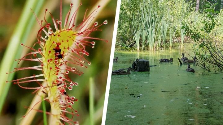 Новосибирец нашёл на болоте хищное растение, которое ест мясо