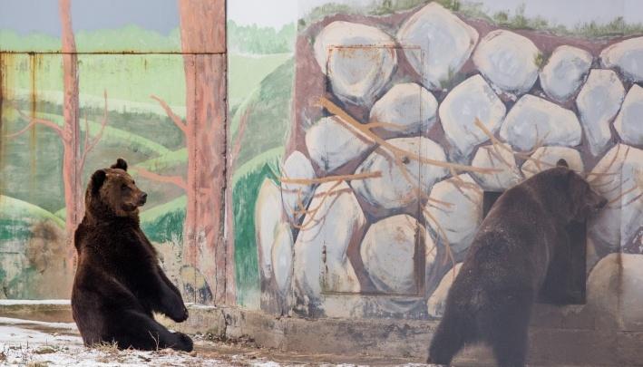Аномальная зима сбила с толку ярославских медведей