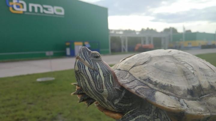 Черепахе, найденной на ленте мусоросортировочного завода в Тюмени, дали имя и нашли новый дом