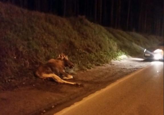 Сбитый машиной лось убежал в лес