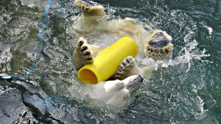 Белому медведю Каю вручили жёлтую трубу от японских фанатов