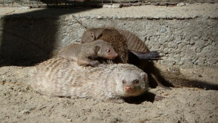 Зоопарк заказал новый вольер и домик для мангустов