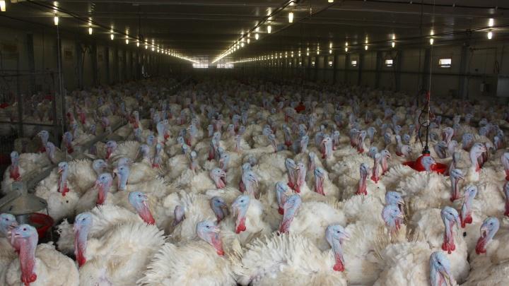 Индейка на «Евродоне» пала из-за вспышки птичьего гриппа