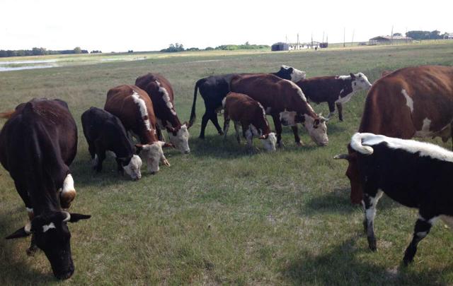 В Петуховском районе приставы арестовали коров и телят