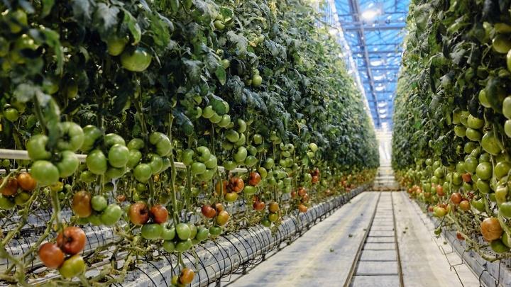 Больше овощей и работы: в Курганской области откроется Агрокомплекс «Мартыновский»