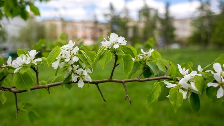 Чиновники разрешили рубить яблони в центре Красноярска