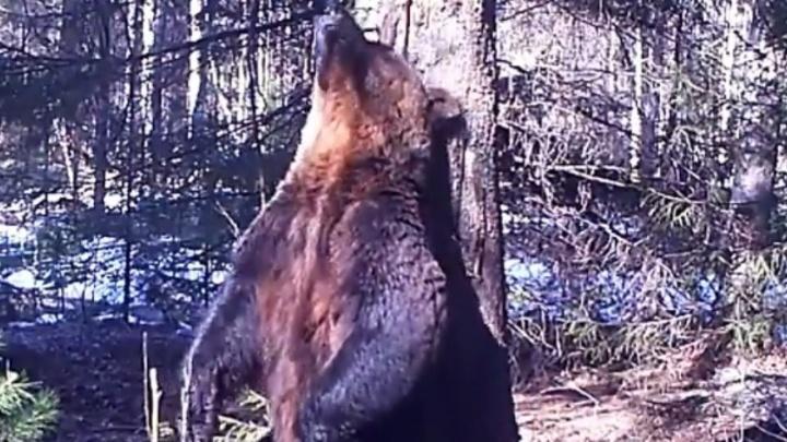 В Висимском заповеднике видеоловушки сняли зажигательный танец медведя
