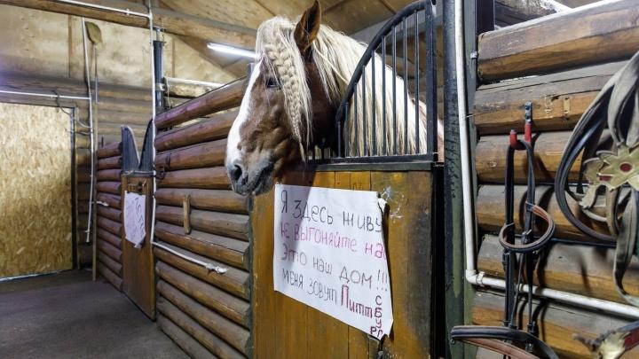 «У нас один шанс — мировое»: «Сосновый бор» готов передать конюшни, чтобы сохранить дом для лошадей