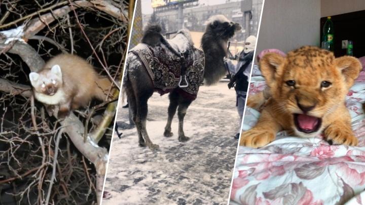 Купание слонов в Оби и верблюд в ковре у ЦУМа: вспоминаем, как животные удивляли новосибирцев
