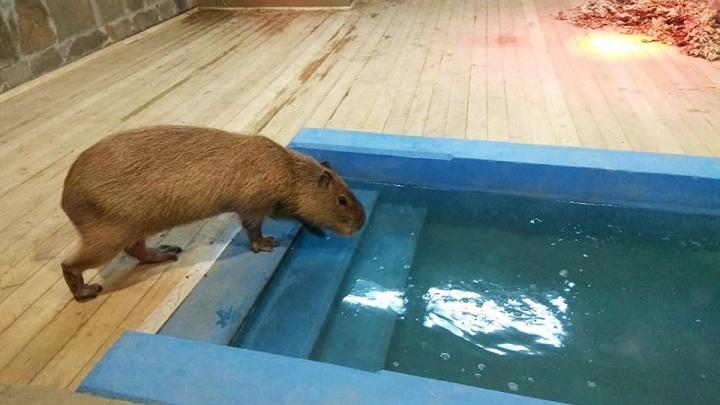 В ростовском зоопарке открыли всесезонную экспозицию с водными свинками