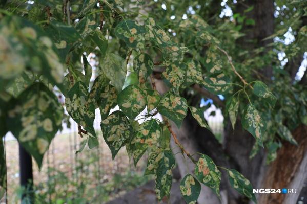 Такой вид приобрели деревья на Лазо