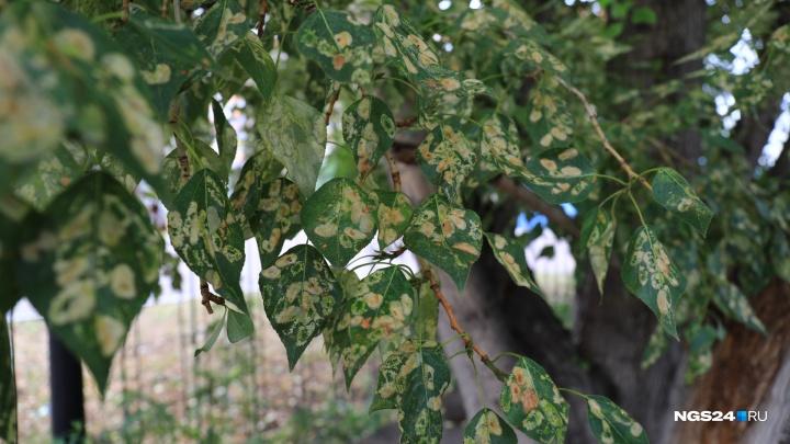 Листья тополей по Красноярску стали жухнуть и покрываться пятнами. Виновен ли в этом дым?