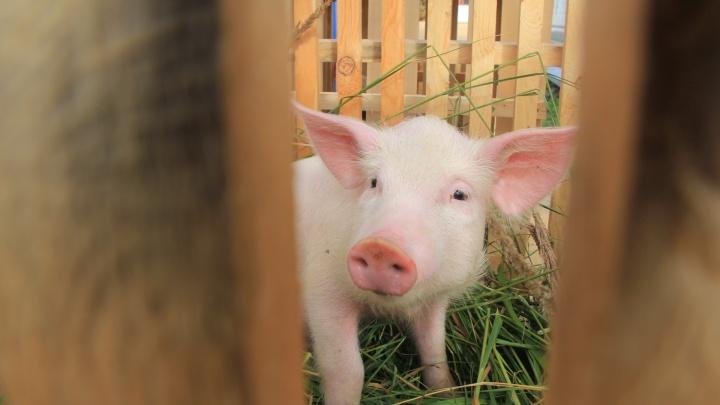 Россельхоз предупреждает: как фермам Архангельской области защититься от африканской чумы свиней