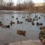 «Их больше сотни!»: на озере на Пятой просеке снова поселились утки