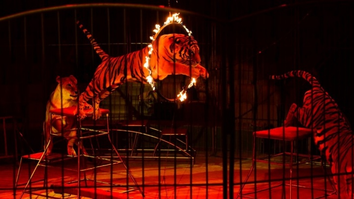 Львиный парад и огненные кольца: смотрим, какое шоу привёз в Екатеринбург лишившийся ног дрессировщик