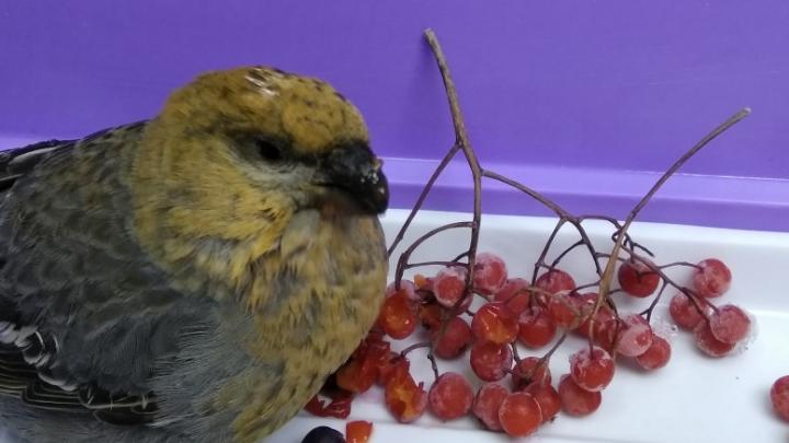 Неравнодушные красноярцы отбили у ворон самочку щура и принесли ее ветеринарам на лечение