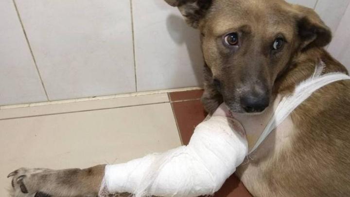 Новосибирские ветеринары вживили пластины в лапу хромого бездомного пса