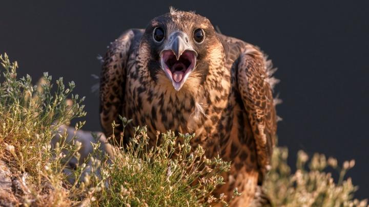 Удивлённый сапсан или милая куница? Выбираем лучший снимок природы от уральских фотографов