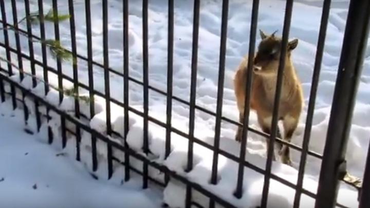 Любопытный и пугливый: сибирячка сняла на видео винторогого козлёнка из зоопарка