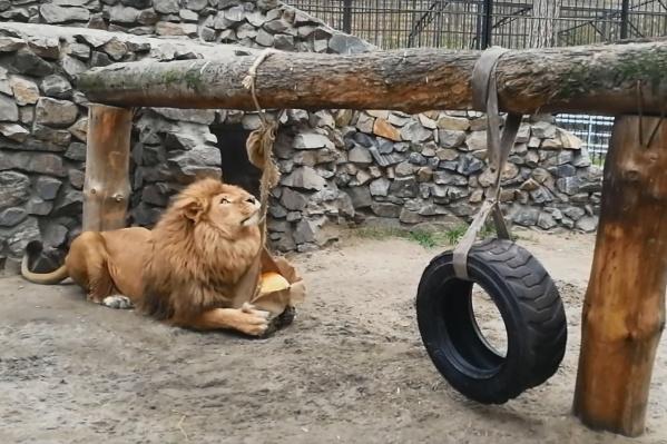 Работники зоопарка делают игрушки для многих животных, в том числе из овощей