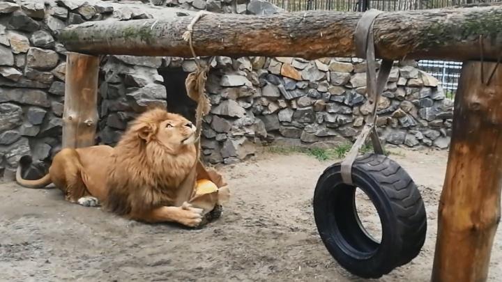 Африканскому льву из зоопарка подарили новую игрушку— он её тут же распотрошил