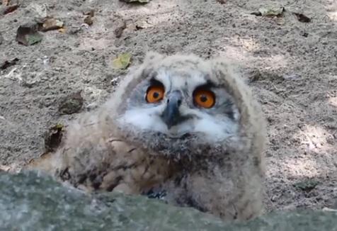 Учится летать и ухать: в зоопарке вылупился филин с выразительными глазами