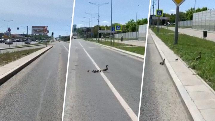 В Самаре машины остановились на Московском шоссе, чтобы пропустить утку с утятами