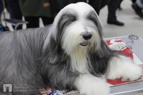 На выставке будут представлены редкие и необычные породы собак