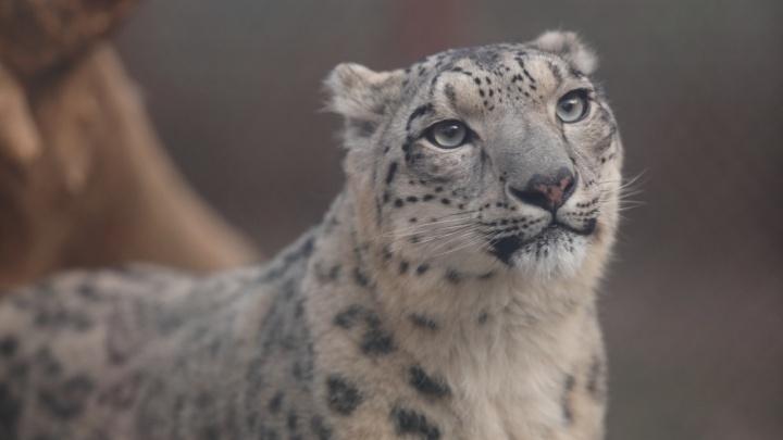 Исследователь из Екатеринбурга приехал к барсятам в пермский зоопарк перед их отъездом