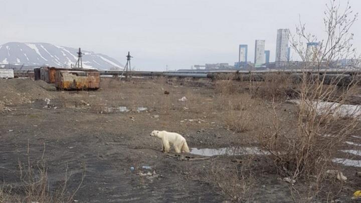 «Его нужно осмотреть»: к белому мишке в Норильск вылетели специалисты с едой и медикаментами