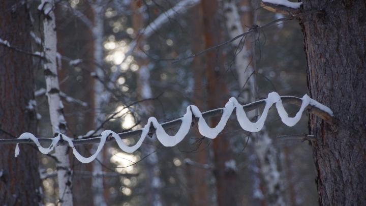 В «Шушенском бору» на ветках деревьев тончайшим слоем повис снег из-за перепадов температур