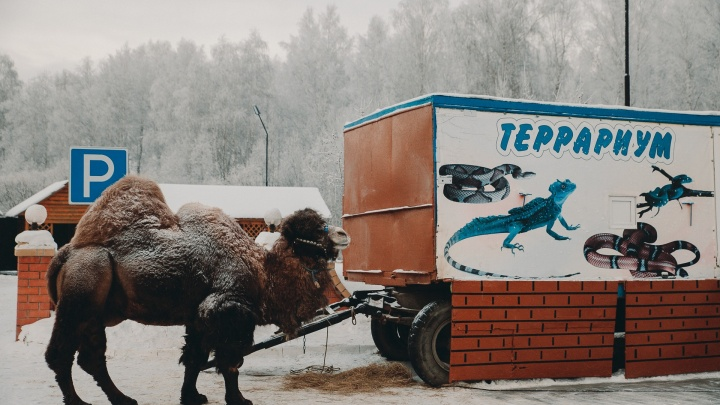 Отмена спектаклей, замерзающий верблюд, помощь бездомным людям: как Тюмень переживала аномальные -30