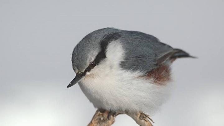 Пугливую птичку сняли в заповеднике «Шушенский бор» в морозы
