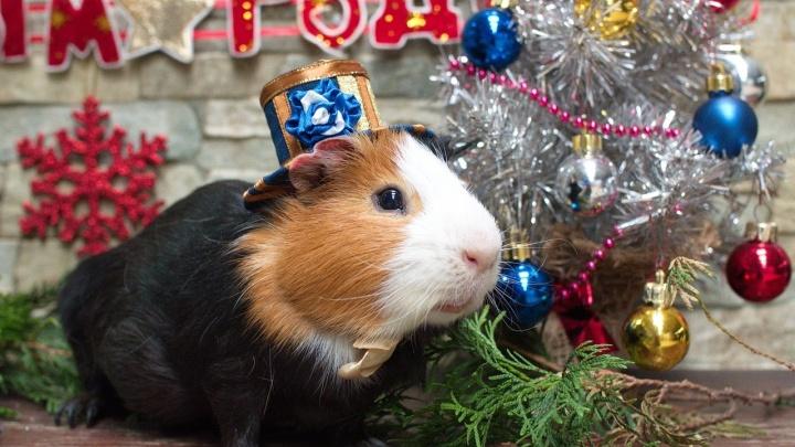 Самарцев зовут погладить на удачу талисман Нового года — морскую свинку Джоржа