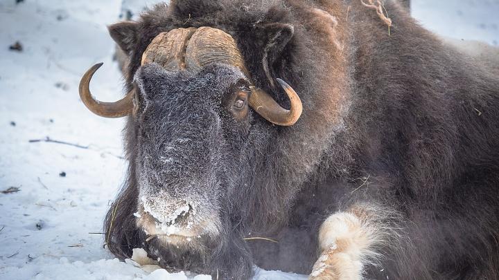 В зоопарке рассказали, кто из животных радуется 40-градусному морозу