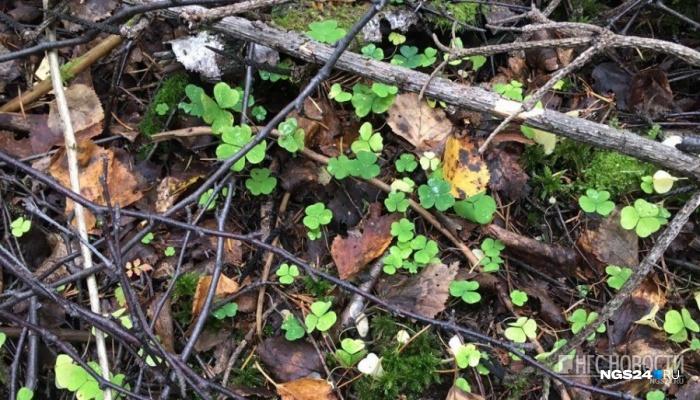 В лесу под Ачинском четвертый день ищут потерявшегося грибника