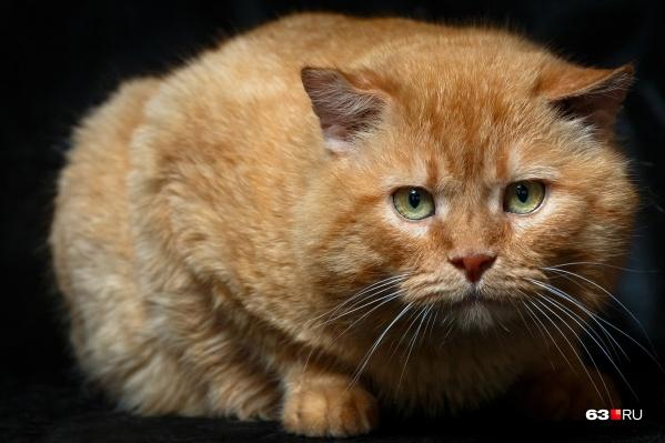 Тор — под стать своему имени, большой кот, весит 8 килограммов. А еще очень спокойный и ласковый<br>