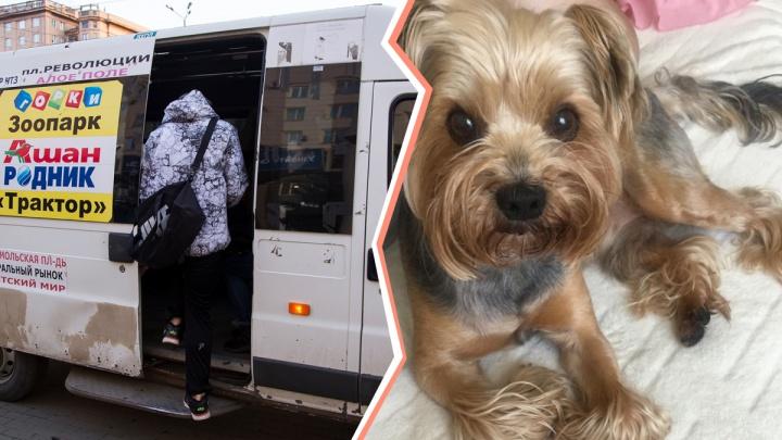 «Сказал — мешает молиться»: водитель маршрутки выгнал челябинку из-за ручной собачки