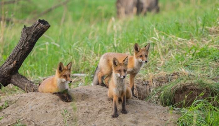 В Железногорске бешеная лиса пробралась в огород и была растерзана собаками — вводят карантин