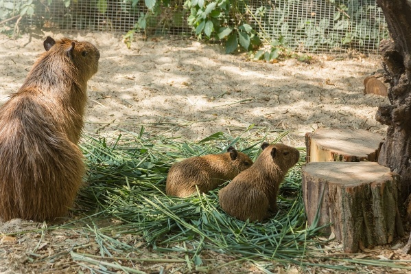 Детеныши с мамой живут в отдельном вольере