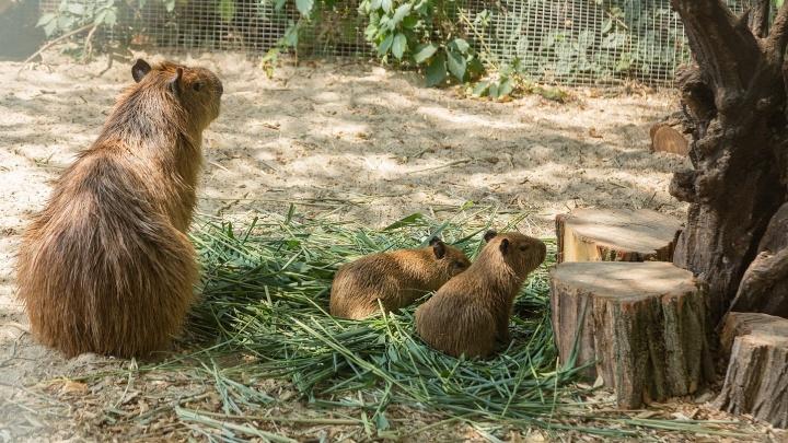 Прибавление в семействе: в ростовском зоопарке родились самые крупные в мире грызуны