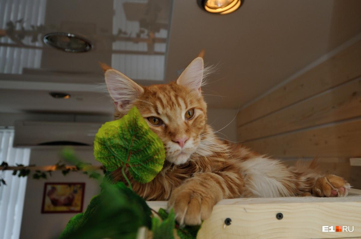 Толстым котик станет, если его неправильно кормить
