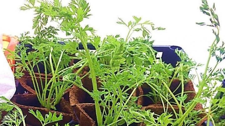 Ешь и худей: екатеринбургские учёные научились выращивать ботву моркови для стройной фигуры