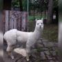 Назвали Любавой. В пермском зоопарке появилась новая альпака