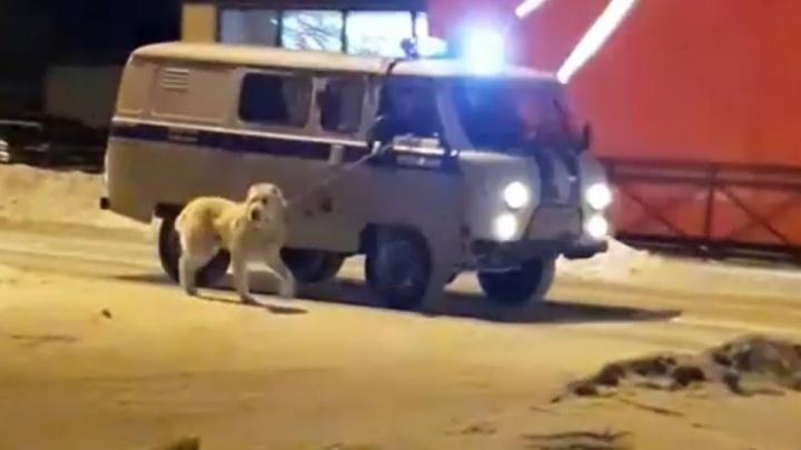 В Верхней Пышме находчивые полицейские «конвоировали» злую собаку, не выходя из служебного авто