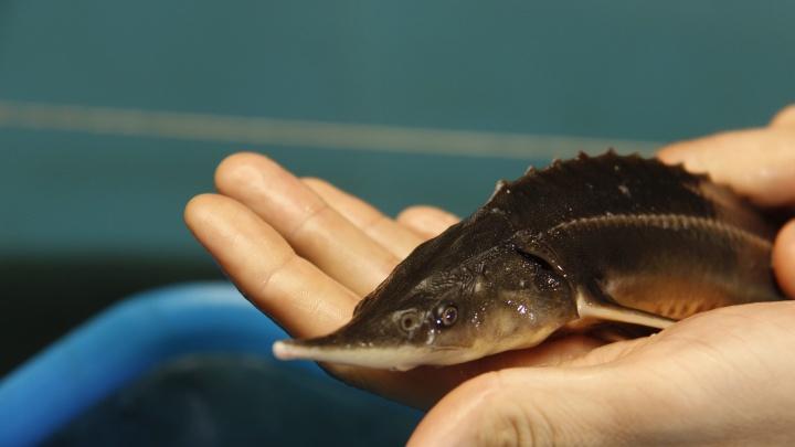 Новосибирец построил осетровую ферму и вырастил первую тысячу рыб