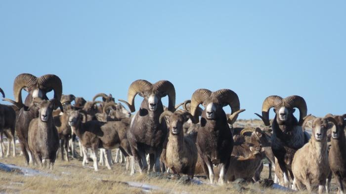 Большая часть горных козлов, живущих на территории России, пасутся на Сайлюгемском хребте